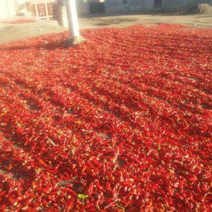 فروش فلفل قرمز خشک