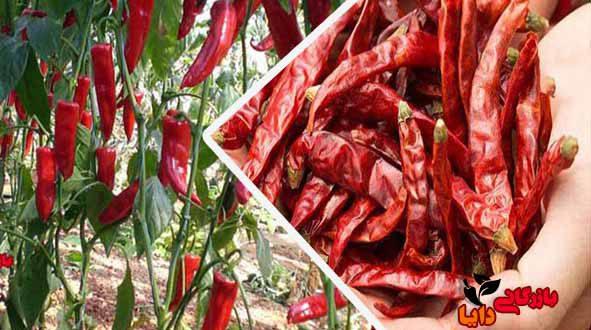 خرید مستقیم فلفل قرمز خالص از تولیدکننده